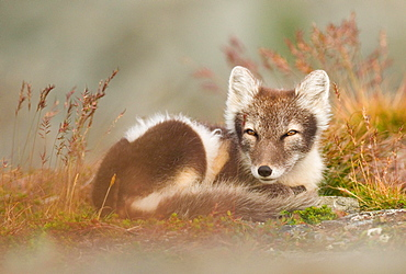 Arctic fox (alopex lagopus) dormant, coiled, Dovrefjell, Norway, Europe