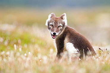 Arctic fox (alopex lagopus) sitting in blooming meadow, Dovrefjell, Norway, Europe