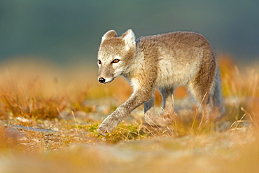 Arctic fox (alopex lagopus) on the stalk, Dovrefjell, Norway, Europe
