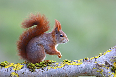 Eurasian red squirrel (Sciurus vulgaris) sitting on a lichen-covered branch, North Rhine-Westphalia, Germany, Europe