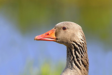Greylag goose (Anser anser), portrait, Oxenmoor, Lower Saxony, Germany, Europe