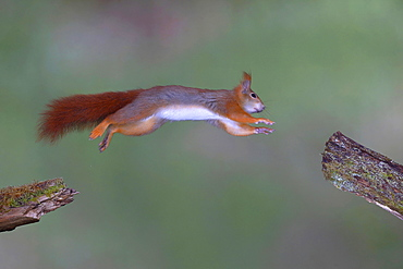 Eurasian red squirrel (Sciurus vulgaris) jumps from branch to branch, North Rhine-Westphalia, Germany, Europe
