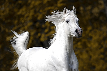 Thoroughbred Arabian grey stallion , portrait, Austria, Europe