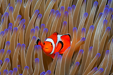 Ocellaris Clownfish (Amphiprion ocellaris) in Magnificent sea anemone (Heteractis magnifica), Great Barrier Reef, Coral Sea, Pacific Ocean, Australia, Oceania