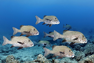 School of fish Harlequin sweetlips (Plectorhinchus chaetodonoides), Great Barrier Reef, Coral Sea, Pacific Ocean, Australia, Oceania