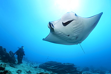 Diver observes reef manta ray (Mobula alfredi), Great Barrier Reef, Unesco World Heritage, Coral Sea, Pacific, Australia, Oceania