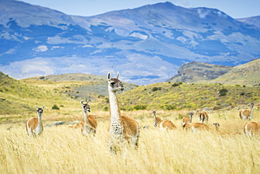 Guanacos (Llama guanicoe), herd in high grass, mountainous, Torres del Paine National Park, Region de Magallanes y de la Antartica Chilena, Patagonia, Chile, South America