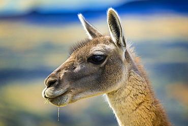Guanaco (Llama guanicoe), portrait, Torres del Paine National Park, Region de Magallanes y de la Antartica Chilena, Patagonia, Chile, South America