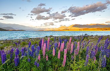 Purple and pink Large-leaved lupins (Lupinus polyphyllus) at the lake, sunset, Lake Tekapo, Canterbury, South Island, New Zealand, Oceania