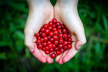 Holding children's hands Redcurrant or (Ribes rubrum), Stuttgart, Baden-Wuerttemberg, Germany, Europe