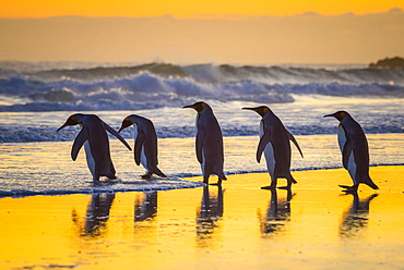 King penguins (Aptenodytes patagonicus), group runs into the sea at sunrise, Volunteer Point, Falkland Islands, South America