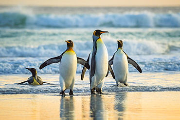 King penguins (Aptenodytes patagonicus), group on the beach in the surf, Volunteer Point, Falkland Islands, South America