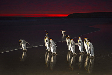 King penguins (Aptenodytes patagonicus), group runs into the sea at dawn, Volunteer Point, Falkland Islands, South America
