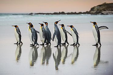 King penguins (Aptenodytes patagonicus), group runs on the beach, Volunteer Point, Falkland Islands, South America