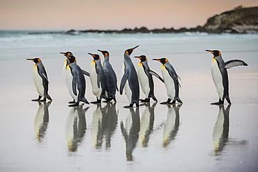 King penguins (Aptenodytes patagonicus), group runs on the beach, Volunteer Point, Falkland Islands, South America - 832-388099