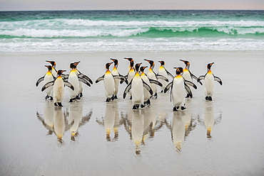 King penguins (Aptenodytes patagonicus), group on the beach in front of the surf, Volunteer Point, Falkland Islands, South America