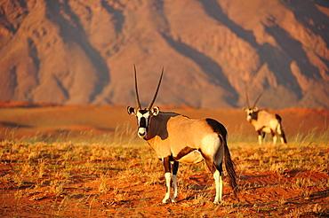 Gemsbok (Oryx gazella), Namib Desert, Namibia, Africa