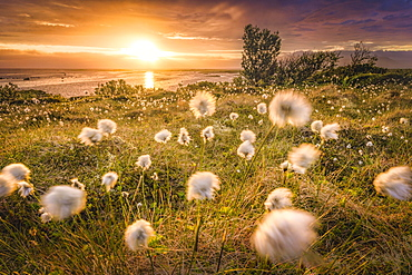 Cotton grass against the light, back sea, Vesteralen, Nordmela, Nordland, Norway, Europe
