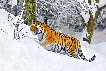 Siberian tiger (Panthera tigris altaica), runs through deep snow, captive, Switzerland, Europe