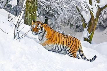 Siberian tiger (Panthera tigris altaica), runs through deep snow, captive, Switzerland, Europe