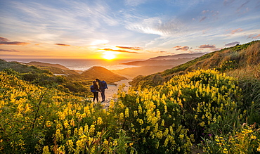 Pair at sunset, yellow lupins (Lupinus luteus) on sand dunes, view of coast, Sandfly Bay, Dunedin, Otago, Otago Peninsula, South Island, New Zealand, Oceania