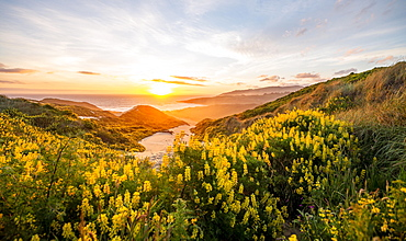Sunset, Yellow Lupines (Lupinus luteus) on sand dunes, view of coast, Sandfly Bay, Dunedin, Otago Region, Otago Peninsula, Southland, New Zealand, Oceania