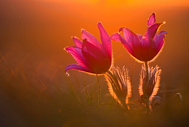 Kitchen clamps (pulsatilla vulgaris) in backlight at sunset, Bavaria, Germany, Europe