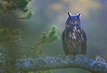 Eurasian eagle-owl (Bubo bubo), captive, at dawn, Sumava, Czech Republic, Europe