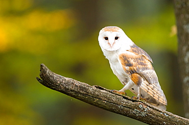 Common barn owl (Tyto alba), captive, sitting on branch, Bohemian Forest, Czech Republic, Europe