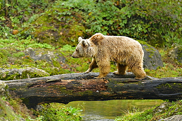 Syrian brown bear (Ursus arctos syriacus), running on tree trunk, captive, Switzerland, Europe