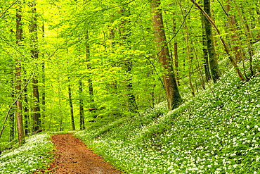 Hiking trail through Common beeches forest (Fagus sylvatica), with flowering Ramsons (Allium ursinum), Sihlwald Wilderness Park, Canton Zurich, Switzerland, Europe