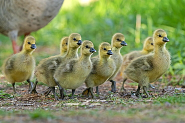 Greylag goose (Anser anser), Goose chicks run in a meadow, Germany, Europe