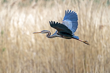 Purple heron (Ardea purpurea) flying in reeds, Germany, Europe