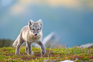 Arctic fox (alopex lagopus), young animal runs in a meadow, licks its mouth, Dovrefjell National Park, Norway, Europe