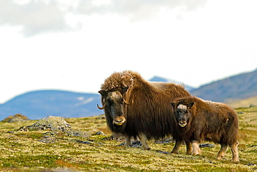 Musk oxes (Ovibos moschatus), mother with young animal, Dovrefjell National Park, Norway, Europe