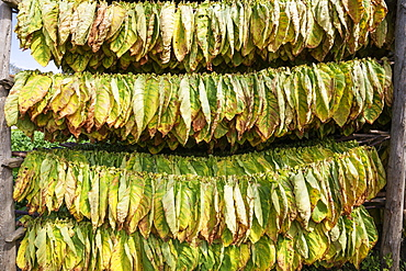 Cultivated tobacco (Nicotiana tabacum), tobacco leaves hung to dry, Pinar del Rio Province, Cuba, Central America
