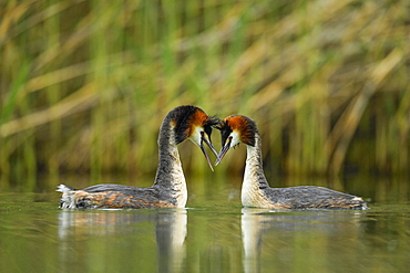 Great crested grebes (Podiceps cristatus), animal couple in the water, courtshipping, Lake Lucerne, Canton Lucerne, Switzerland, Europe