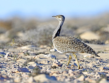 Houbara bustardmales (Chlamydotis undulata) in the semi-desert of Fuerteventura, Canary Islands, Spain, Europe