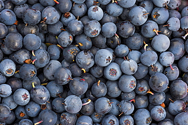 Blueberries, blueberries (Vaccinium myrtillus), Southern Iceland, Iceland, Europe