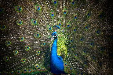 Indian peafowl (Pavo cristatus), beats the wheel, captive, Stuttgart, Baden-Wuerttemberg, Germany, Europe