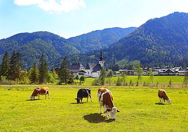 Cattle pasture with the church St.Ulrich, Sankt Ulrich am Pillersee, Pillerseetal, Tyrol, Austria, Europe