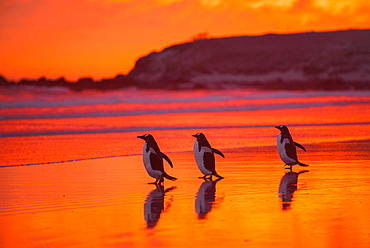 Gentoo penguins (Pygoscelis papua) on the way to the sea at dawn, Volunteer Point, Falkland Islands, South America