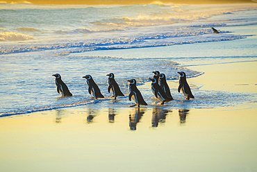 Magellanic penguins (Spheniscus magellanicus) on the way to the sea in the morning light, Volunteer Point, Falkland Islands, South America