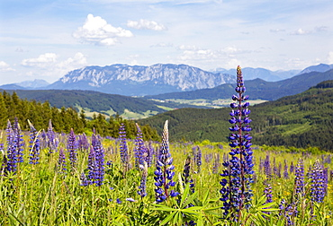 Lupines, Lupinus, multileaved lupine, lupine meadow on the high alpine pasture near Mondsee, behind it Hoellengebirge, Salzkammergut, Upper Austria, Austria, Europe