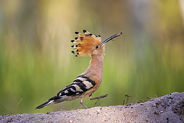 Hoopoe (Upupa epops) with lizard tail as food, during foraging, Biosphere Reserve Mittelelbe, Saxony-Anhalt, Germany, Europe