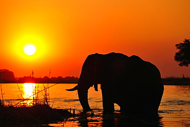 Elephant (Loxodonta africana), silhouette at sunset, standing in the Chobe River, Chobe National Park, Botswana, Africa