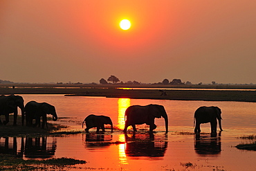Elephants (Loxodonta africana), silhouettes at sunset, wading through the Chobe River, Chobe National Park, Botswana, Africa