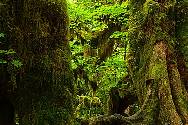 Dense vegetation in the rainforest, Olympic National Park, Washington, USA, North America