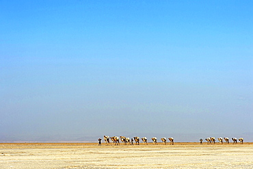 Afar shepherd leads a dromedary caravan loaded with rock salt plates (halite) across the Lake Assale (Lake Assale), Danakil Depression, Afar Region, Ethiopia, Africa