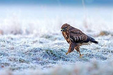 Buzzard (Buteo buteo) running, foraging in winter, Saxony-Anhalt, Germany, Europe